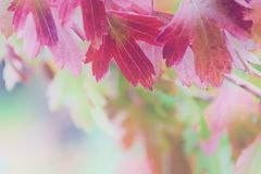 Colorful and bright background of blurred autumn leaf royalty free stock photo
