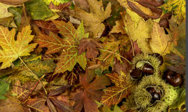 Colorful bright background with fallen autumn leaves and chestnuts Royalty Free Stock Photo