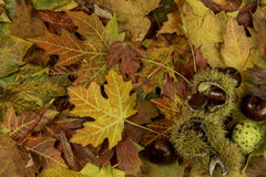 Colorful bright background with fallen autumn leaves and chestnuts Royalty Free Stock Photography