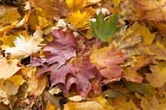 Colorful  and bright background made of fallen autumn leaves Royalty Free Stock Images