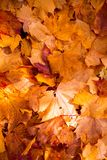 Colorful  and bright background made of fallen autumn leaves Stock Photography