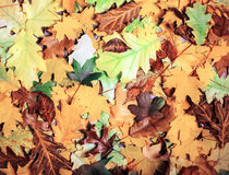Colorful and bright background made of fallen autumn leaves Royalty Free Stock Photos