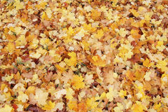 Colorful and bright background made of fallen autumn leaves Royalty Free Stock Photo