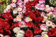 Colorful, bright field of blooming pink and red Ranunculus among green grass