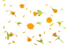 Colorful bright pattern of orange calendula flowers Stock Images