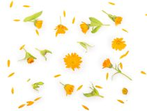 Colorful bright pattern of orange calendula flowers Royalty Free Stock Photo