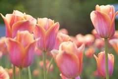 Beautiful pink-orange tulips flowering in a summer park or in the garden. Colorful and bright pink-orange tulips in a summer park or in a field royalty free stock photo