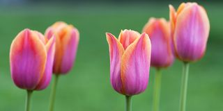 Beautiful pink-orange tulips flowering in a summer park or in the garden. Colorful and bright pink-orange tulips in a summer park or in a field royalty free stock images