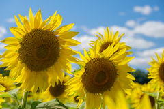 Colorful bright sunflowers on a beautiful afternoon Stock Photo
