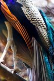 Colorful Peacock Feathers. Colorful and brilliant feathers on peacock on a rainy day stock photos