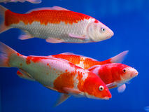 Colorful Brocaded Carps Stock Photos