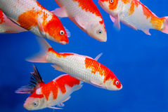 Colorful brocaded carps Royalty Free Stock Photos
