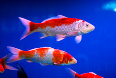 Colorful brocaded carps or koi Royalty Free Stock Photography