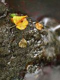 The colorful broken leaf from lime tree on basalt stones in blurred water of mountain river. Mountain river with low level of water, gravel with colorful beech royalty free stock photos