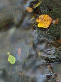 The colorful broken leaf from maple tree on basalt stones  Stock Photo