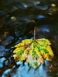 The colorful broken maple leaf. Fallen leaf on sunken basalt stone in blurred water of stream. Stock Image