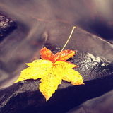 The colorful broken maple leaf. Fallen leaf on sunken basalt stone in blurred water of stream. Stock Photo