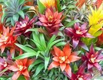 Colorful of Bromeliad garden, Beautiful Bromeliad Stock Photo