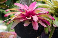 Colorful of bromeliad garden Stock Photo