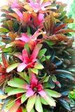 Colorful bromeliad Stock Image