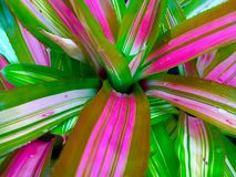 Colorful Bromeliad. Colorful pink and green bromeliad plant Royalty Free Stock Images