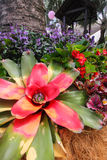 Colorful bromeliad plant Royalty Free Stock Image