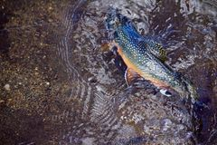 Colorful Brook Trout Fights on the line. Of a Fly Fisher in Clear Waters royalty free stock photography