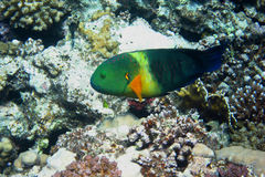Colorful Broomtail wrasse Stock Images