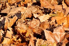 Colorful and brown autumn leaves, texture, material and background. Leaves the leaves from the trees, close up. Royalty Free Stock Photos
