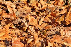 Colorful and brown autumn leaves, texture, material and background. Leaves the leaves from the trees, close up. Royalty Free Stock Image