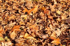 Colorful and brown autumn leaves, texture, material and background. Leaves the leaves from the trees, close up. Stock Photos