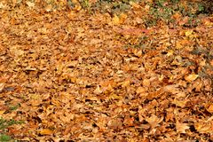 Colorful and brown autumn leaves, texture, material and background. Leaves the leaves from the trees, close up. Royalty Free Stock Images