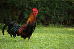 Colorful brown rooster Stock Photos