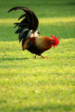 Colorful brown rooster finding food Stock Photo