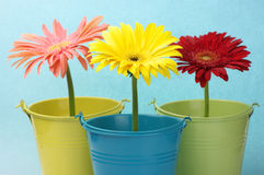 Colorful buckets with gerberas Royalty Free Stock Image