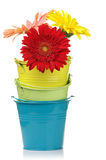 Colorful buckets with gerberas Stock Images