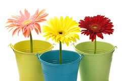 Colorful buckets with gerberas Stock Image