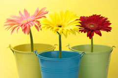 Colorful buckets with gerberas Royalty Free Stock Photo