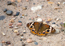 Colorful Buckeye Butterfly on Gravel royalty free stock photos