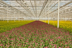 Colorful budding chrysanthemums in a greenhouse Stock Photo
