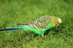 Colorful budgerigar Royalty Free Stock Photos