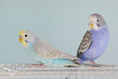 Colorful Budgerigar parrots Stock Photos