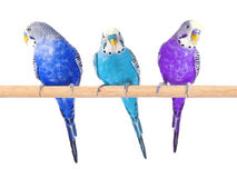 Colorful budgerigars on white background. Parrots stock photo