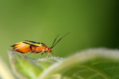 Colorful Bug. A small colorful bug on leaf royalty free stock images