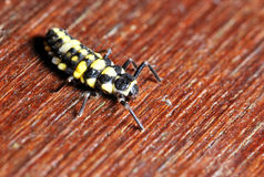 Larva. A macro photo of a larva during metamorphosis Stock Photos
