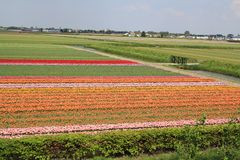 Colorful bulbfields in holland in the spring sunshine royalty free stock images