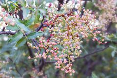 Colorful bunch berries at branch in nature Stock Photo