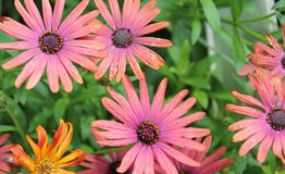 COLORFUL BUNCH OF GERBER DAISIES. CLOSE UP OF COLORFUL BUNCH OF PINK AND PEACH GERBER DAISIES IN A SPRINGTIME GARDEN royalty free stock images