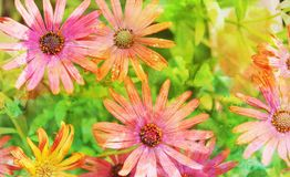 COLORFUL BUNCH OF GERBER DAISIES. CLOSE UP OF COLORFUL BUNCH OF PINK AND PEACH GERBER DAISIES IN A SPRINGTIME GARDEN royalty free stock image