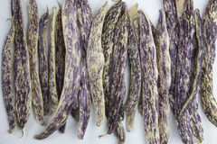 A colorful bunch of purple and white Dragon Tongue Beans laying Royalty Free Stock Image